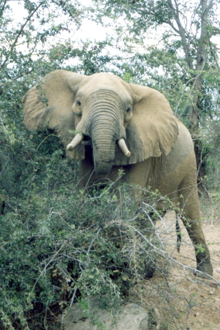 Startled Elephant