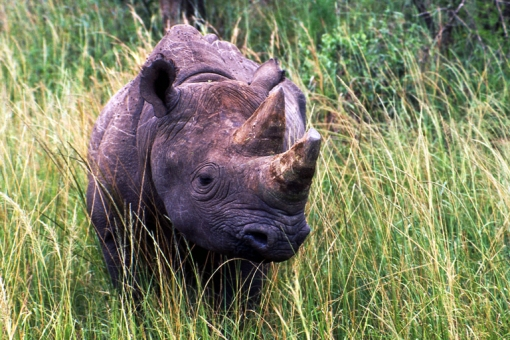 Is the Battle for the Rhinoceros on its Last Legs?